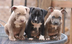 red-and-blue-nose-pitbull-puppies